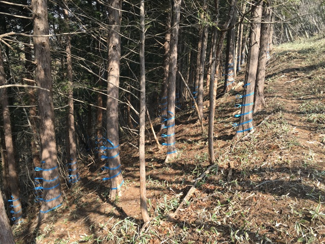 木の幹に青いテープ