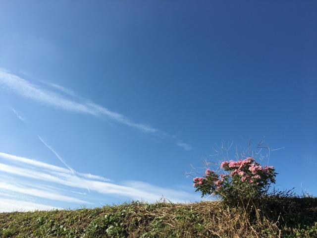 青空に野良菊