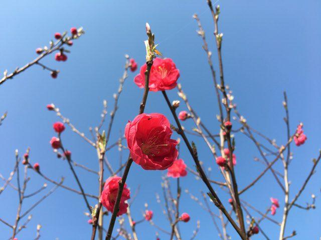 真っ赤な梅の花
