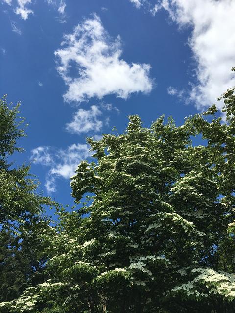 ヤマボウシと青空