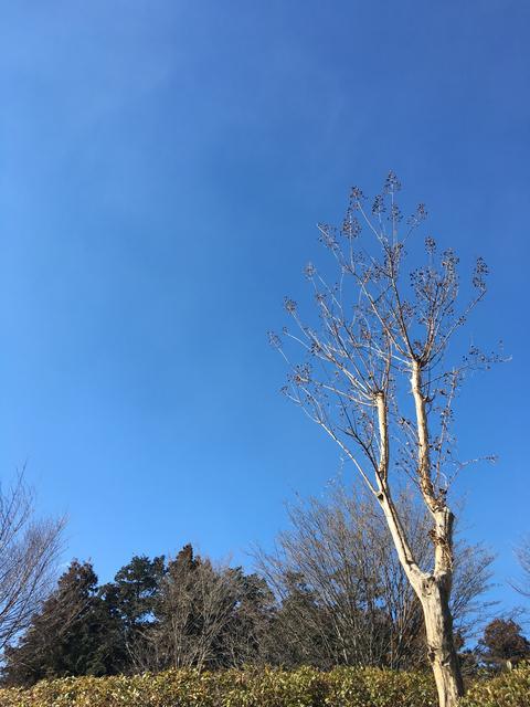青空とサルスベリ