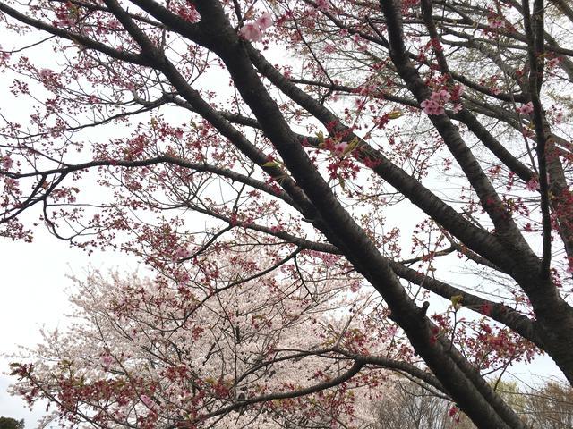 散った桜と満開の桜