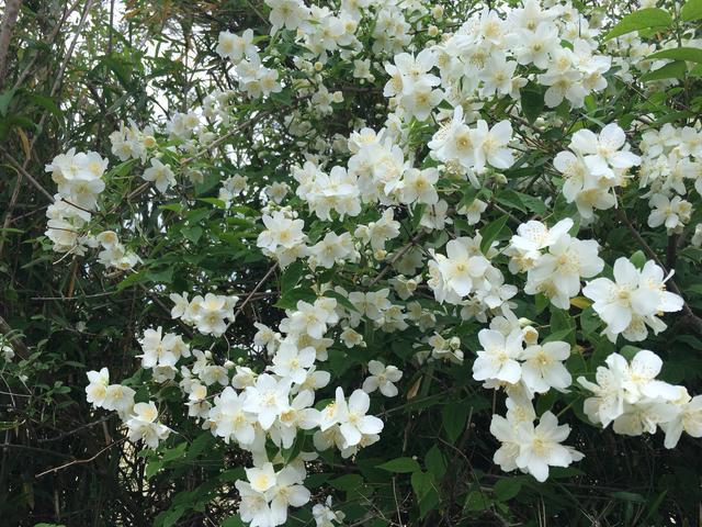 クチナシの花?