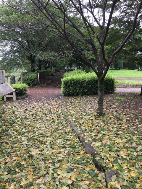 桜の木が早くも落葉