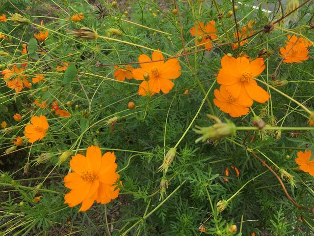オレンジ色のコスモス