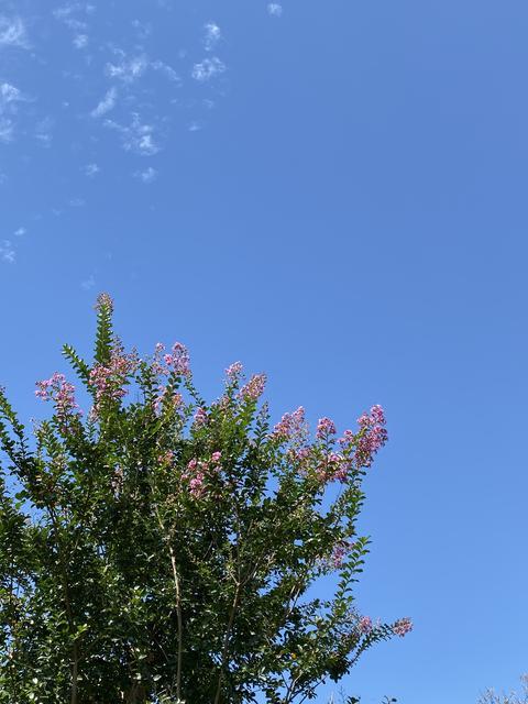 サルスベリと青空