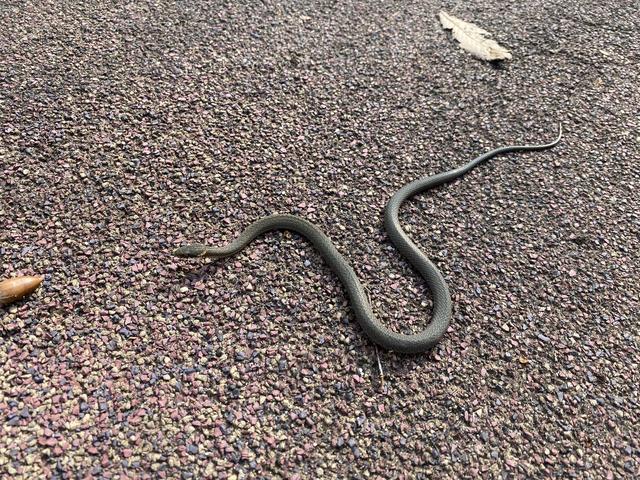 ヘビの赤ちゃん