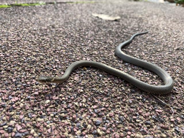 ヘビの赤ちゃん接写