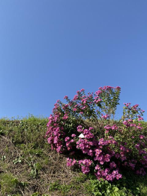 青空と野菊