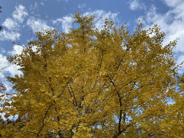 黄色い銀杏