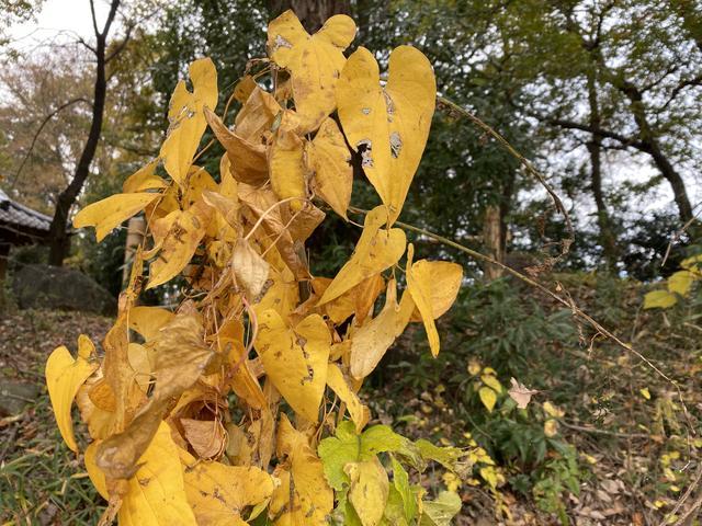黄色いイモの葉