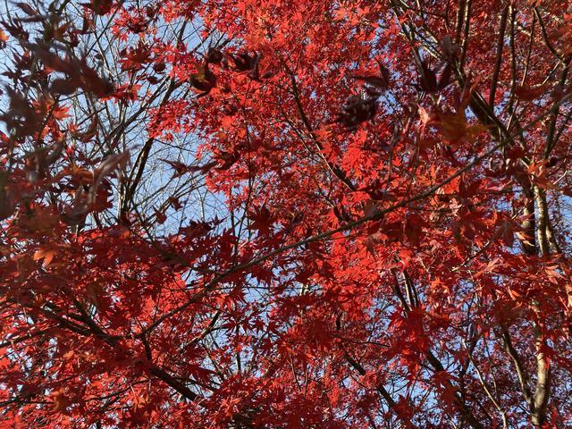 赤いモミジ