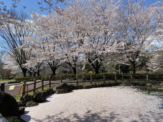 桜の花びらでいっぱいの池