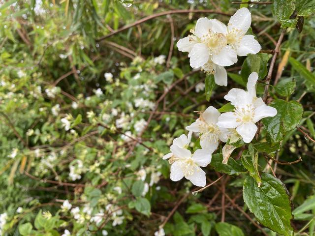 雨に濡れた白い花