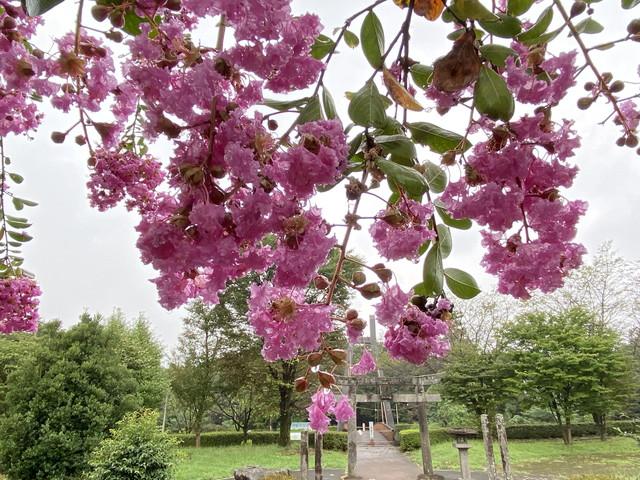 雨が滴るサルスベリの花