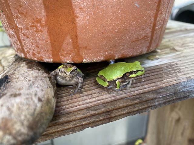 植木鉢の下からカエルくん二匹