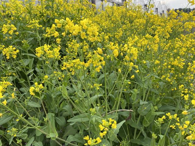 今朝の菜の花