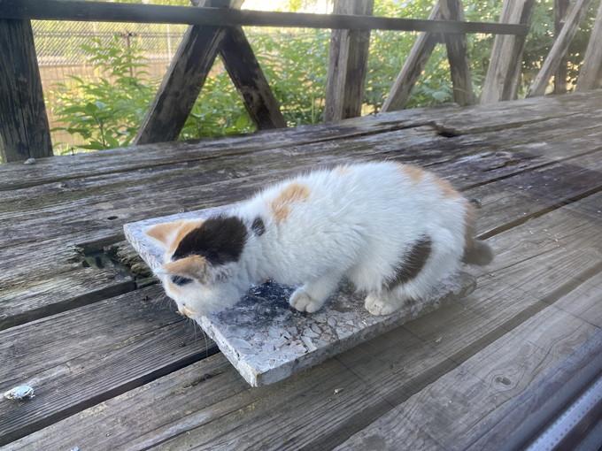 ノラ猫のチビ
